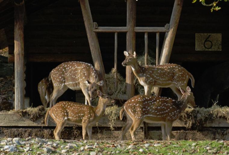 Wildpark_Heitern_Axishirsche_Wildtier.png