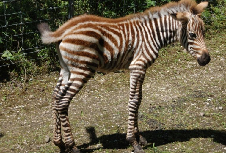 Studen_Zebra1_red.jpg