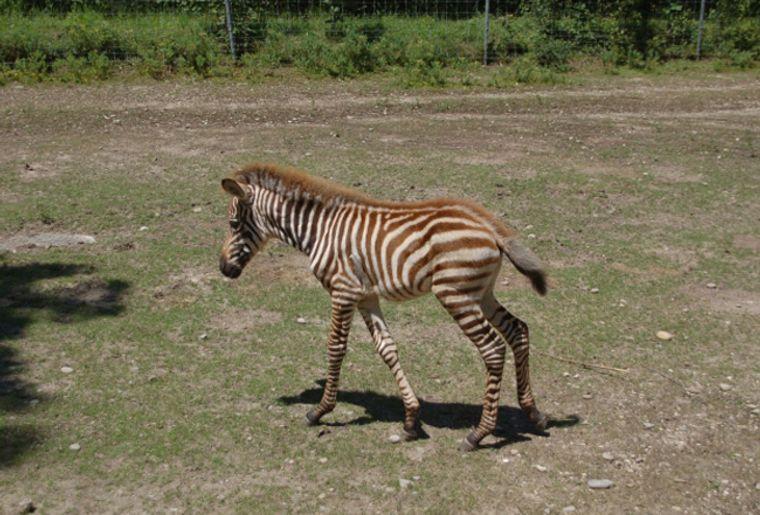 Studen_Zebra2_red.jpg