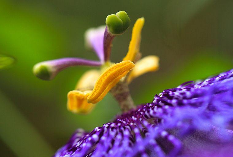 Garten-Passionsblume.jpg