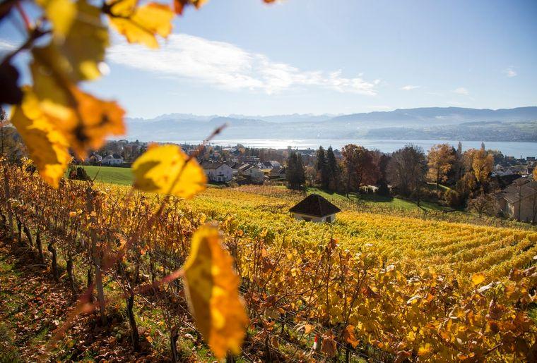 Rebberge bei Meilen - Herbst in der Schweiz.jpg