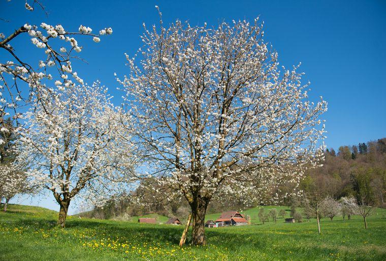 Zuger-Kirschbäume.jpg