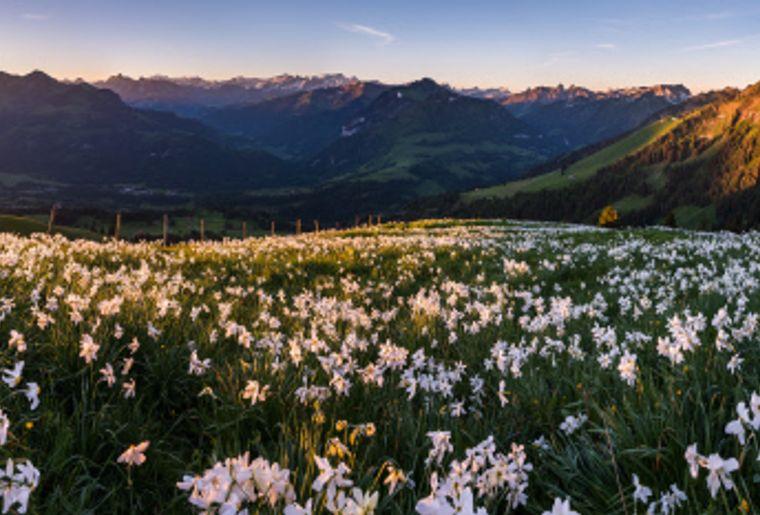 Den de Lys Panorama mit Narzissen.jpg
