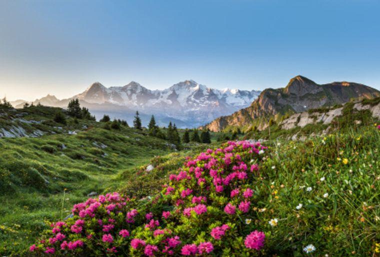 Lauterbrunnen Alpenrosen Berneroberland.jpg