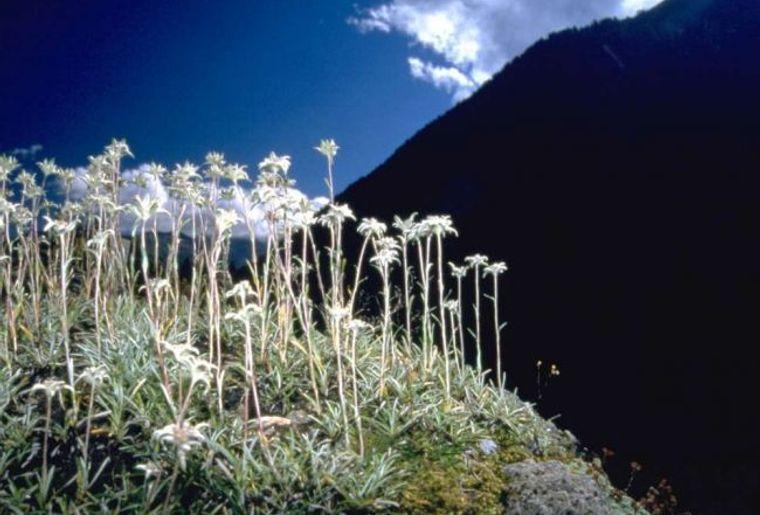 Flore-Alpe1.jpg
