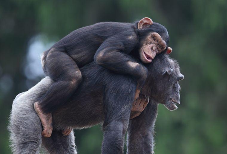 Schimpanse_388zugeschnitten[4].jpg