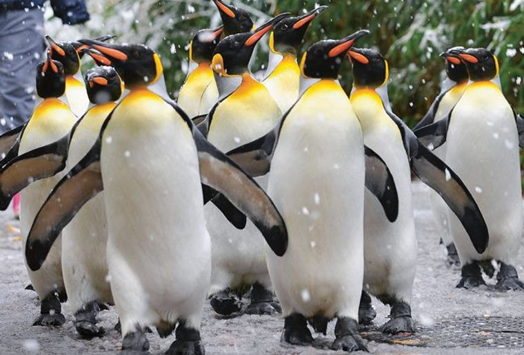 pinguin parade.jpg