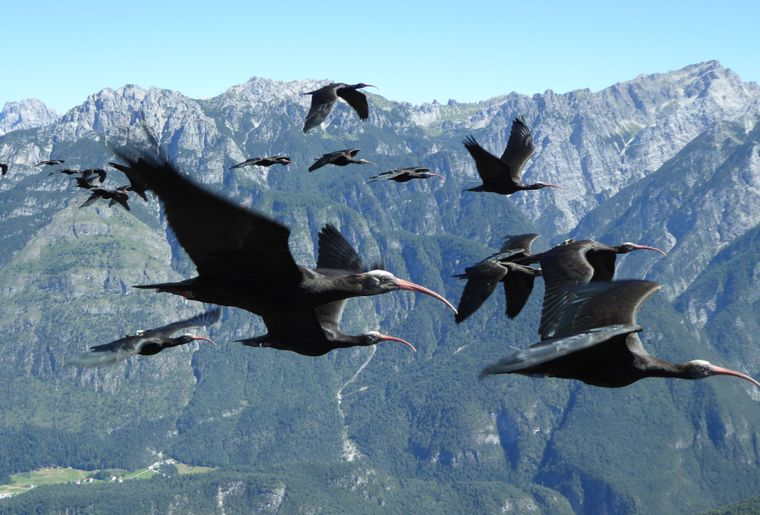 Copyright Waldrappteam, LIFE Northern Bald Ibis (2).jpg