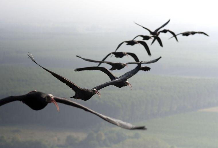 Copyright Waldrappteam, LIFE Northern Bald Ibis.jpg