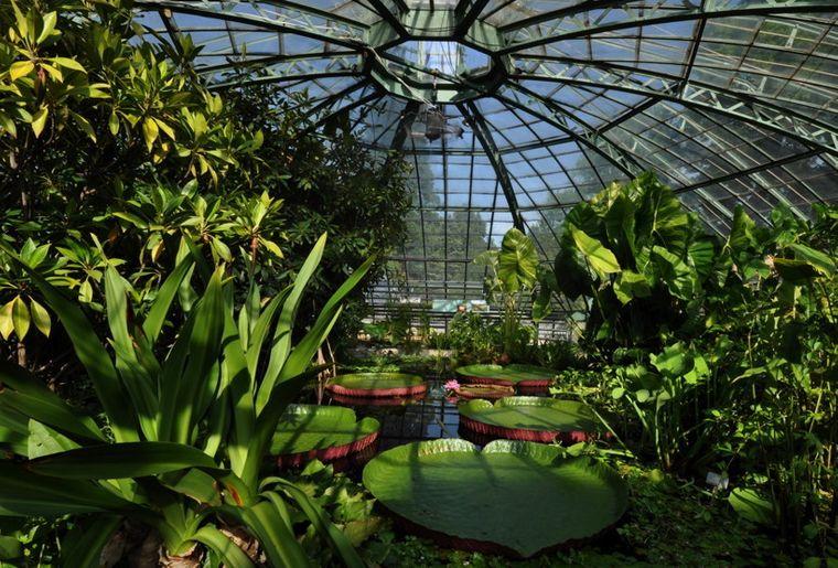 Blätter der Victoria-Seerose c Botanischer Garten, Universität Basel.jpg