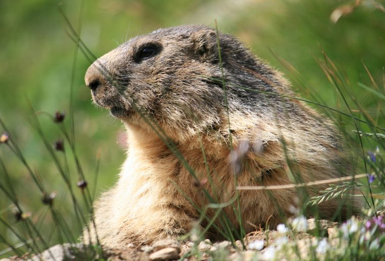 Murmeltiere in Saas-Fee. (PHOTOPRESSSaastal Tourismus AG) (2).jpg