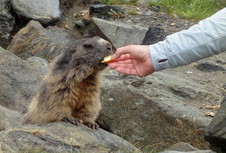 Murmeltiere in Saas-Fee. (PHOTOPRESS Saastal Tourismus AG).jpg