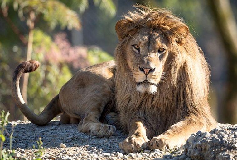 Walter Zoo Berberlöwe.jpg