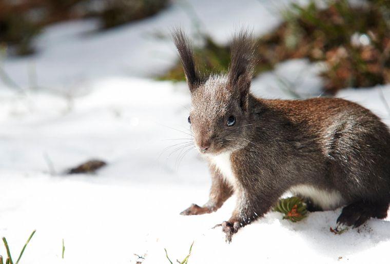 Eichhörnchen c Arosa Tourismus.jpg
