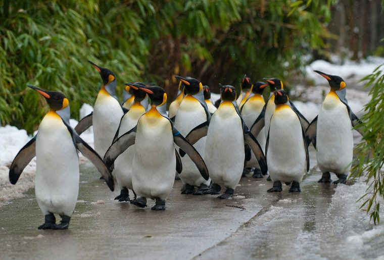 Pinguinparade 2 c Zoo Zürich, Andy Mueller.jpg