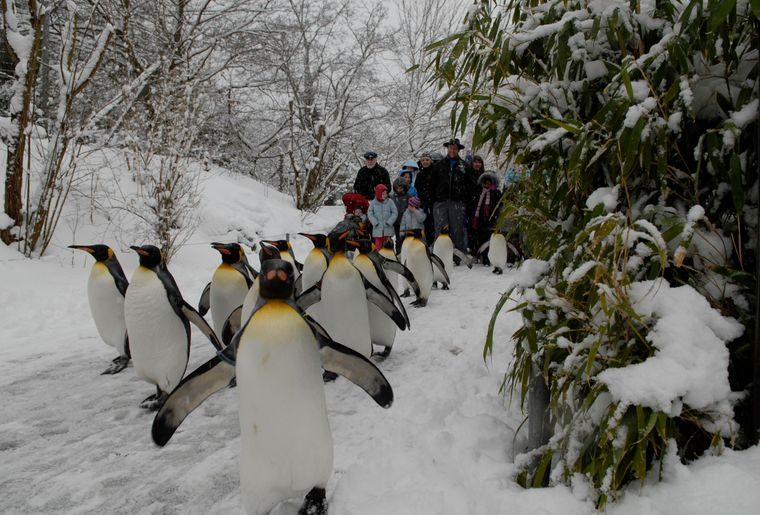 Pinguinparade 3 c Zoo Zürich, Andy Mueller.jpg