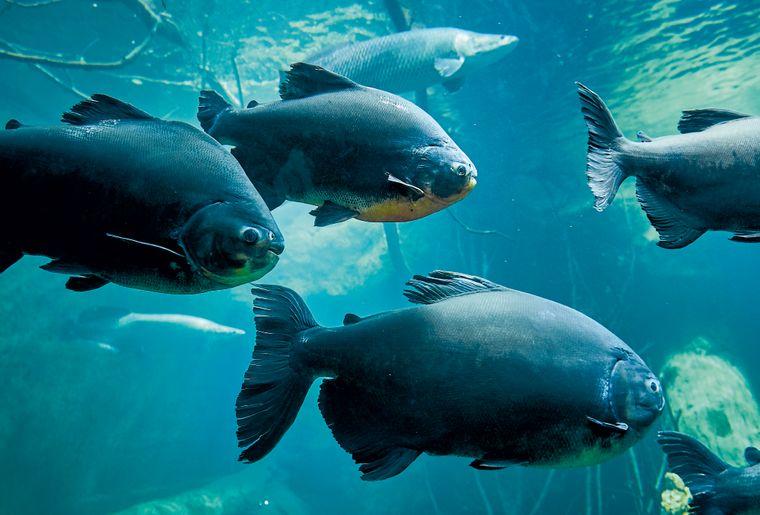 AQA-poisson-pacu-©sedrik-nemeth-CMJN.jpg