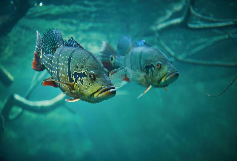 AQA-poisson-tucunare-cichla-temensis-©sedrik-nemeth-CMJN.jpg