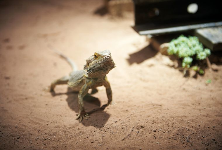 AQA-reptile-agame-barbu-©sedrik-nemeth-CMJN.jpg