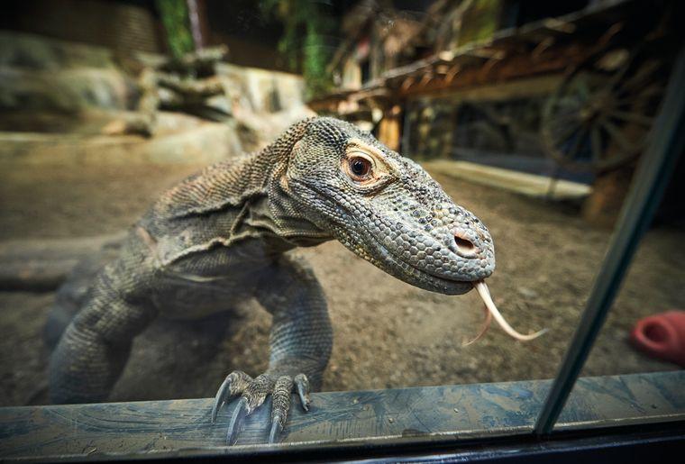 AQA-reptile-dragon-de-komodo-©sedrik-nemeth-CMJN.jpg