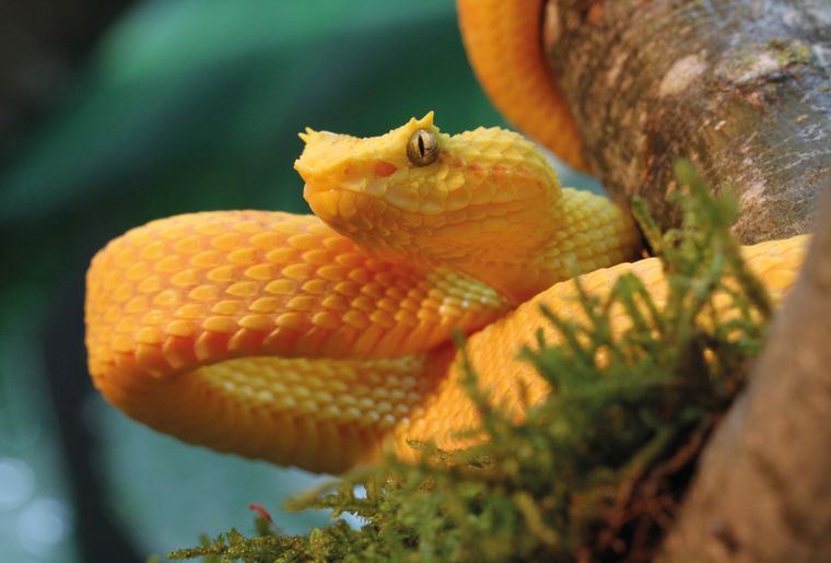 AQA-reptile-vipere-de-schlegel-bothriechis-schlegelii-©michel-ansermet-CMJN.jpg