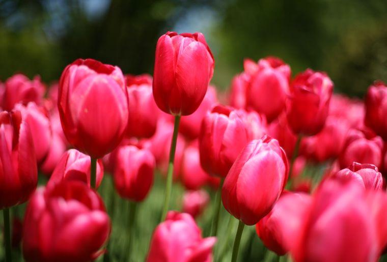 fete-tulipe-morges.JPG