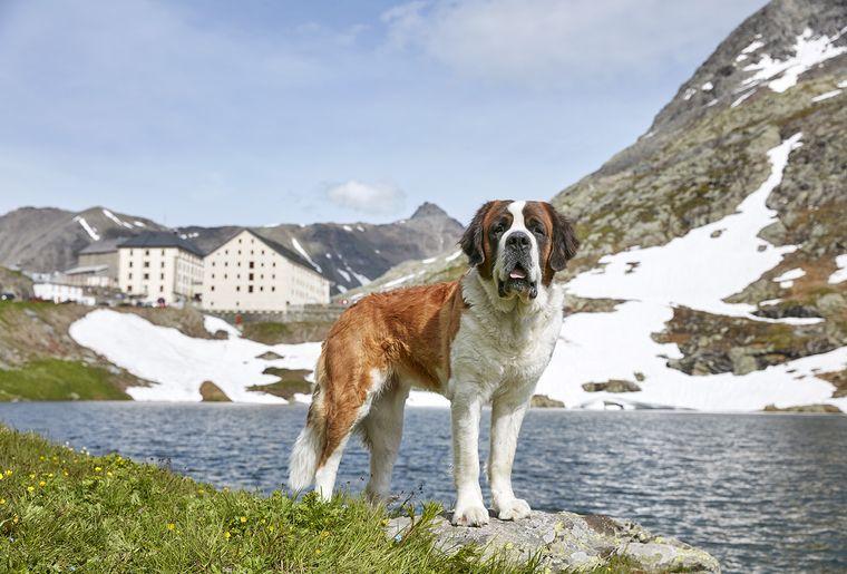 balade-chiens-saint-bernard-6.jpg