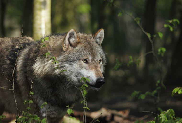 Naturmuseum Winterthur Ausstellung Wolf.jpeg