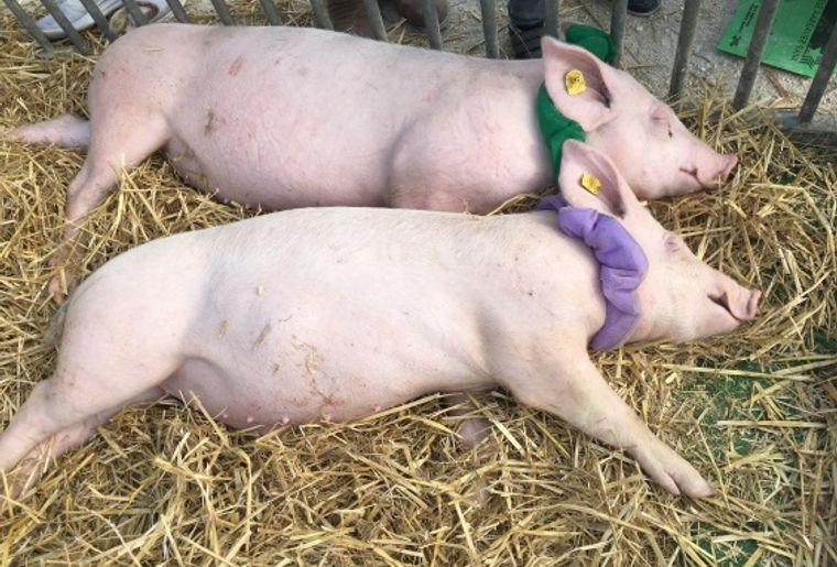Schweine_Website.jpg