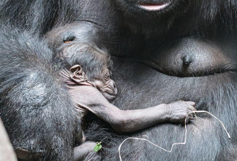 gorilla_fadama_jungtier_DSC9737 c Zoo  Basel.jpg