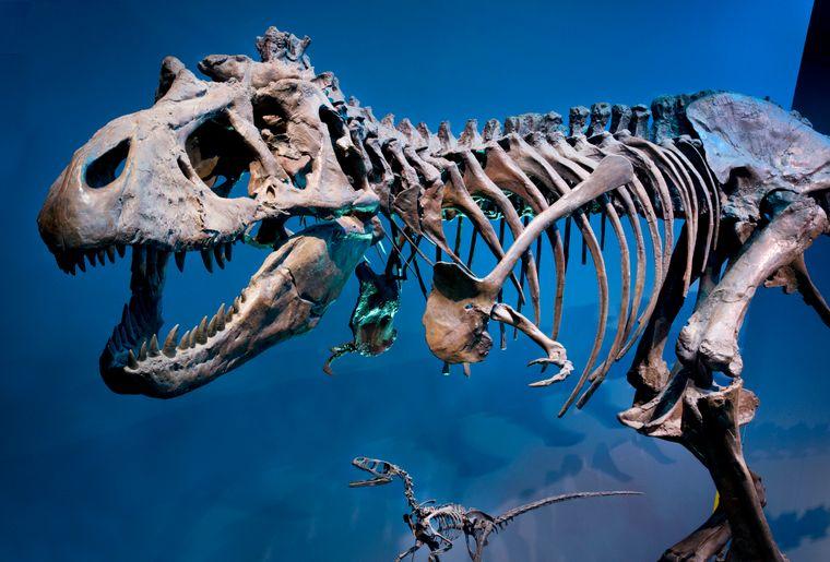 Naturhistorisches Museum Bern Sonderausstellung T. rex 3 c NMBESchäublin.jpg