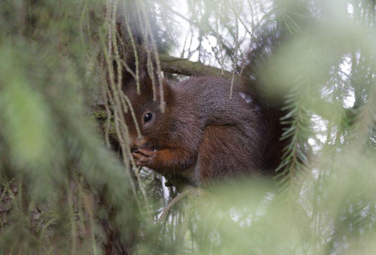 1_Eichhörnchen im Dreilindenquartier der Stadt Luzern Copyright Mika vonArx  stadtwildti.jpg