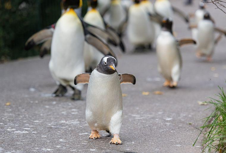 Eselspinguin Pinguinspaziergang Zoo Basel 2 c Zoo Basel.jpg