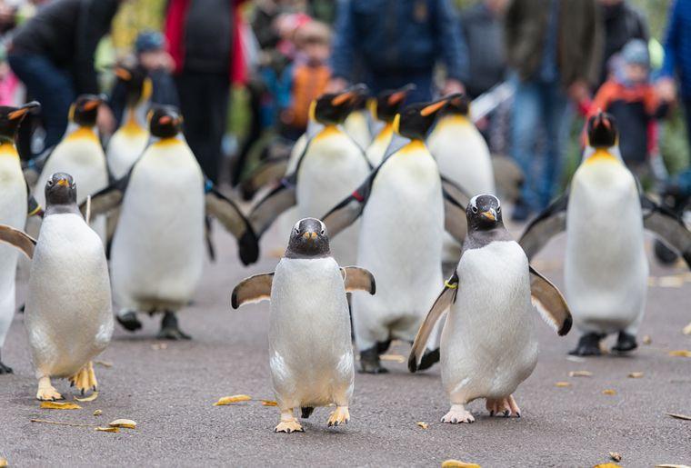 Eselspinguin Pinguinspaziergang Zoo Basel c Zoo Basel.jpg
