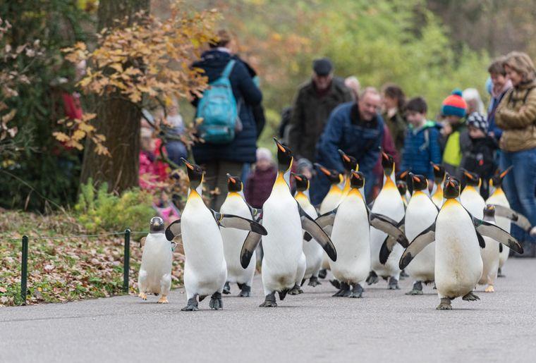 Königspinguin Pinguinspaziergang Zoo Basel c Zoo Basel.jpg