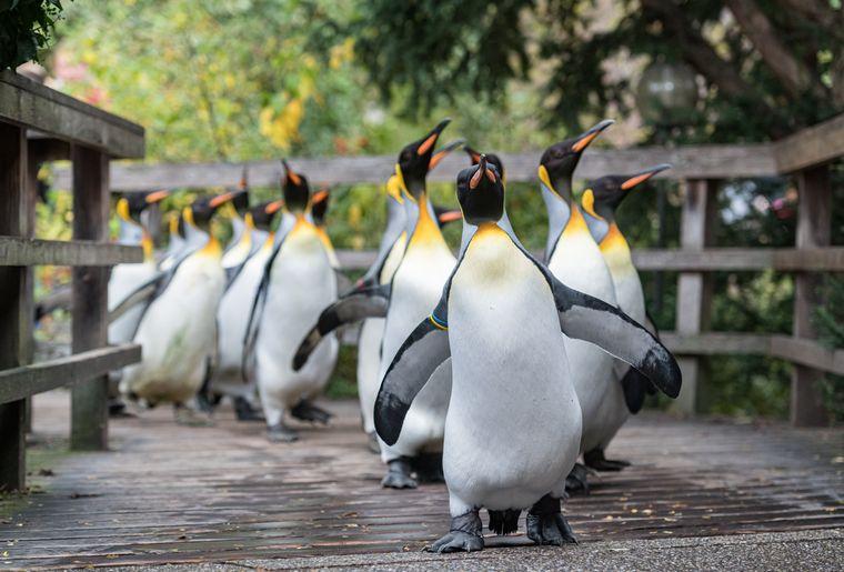 Königspinguin Pinguinspaziergang Zoo Basel 2 c Zoo Basel.jpg