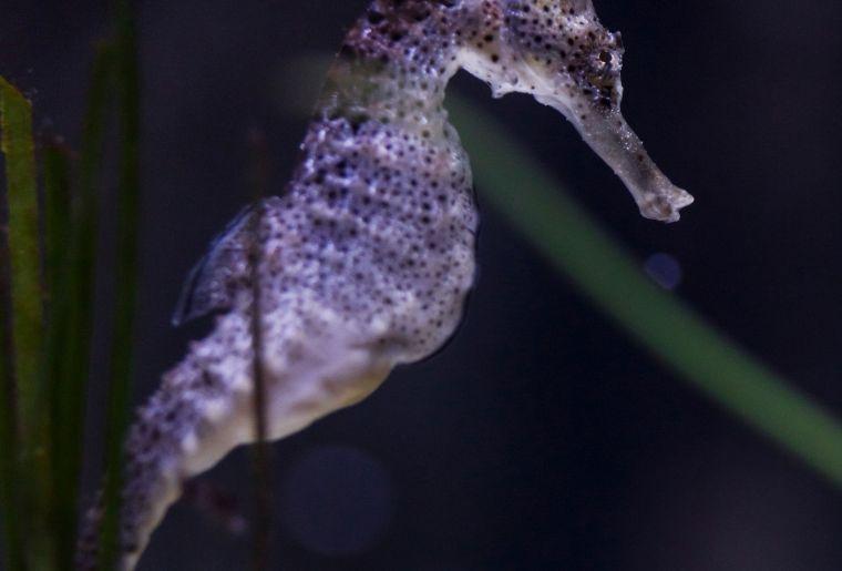 Seepferdchen (C) SEA LIFE - klein 2.jpg