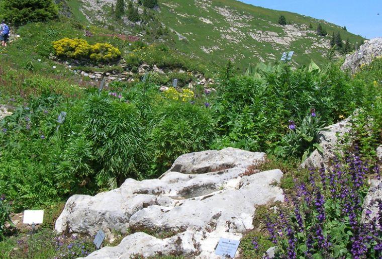 Schynige Platte Alpengarten c alpengarten.ch.jpg