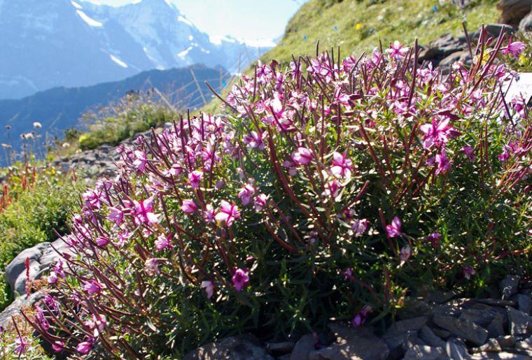 Schynige Platte Alpengarten 2 c alpengarten.ch.jpg
