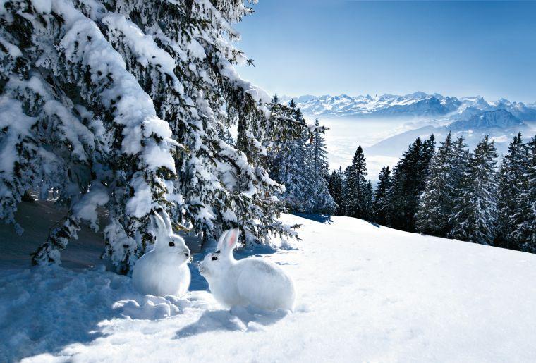 Schneehasen am Wildspitz (1205 m) bei Einsiedeln im Kanton Schwyz.
