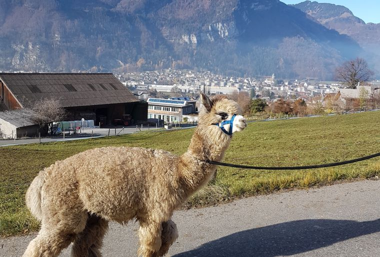 Alpaka Spaziergang 1_Copyright Fam Beglinger.jpeg
