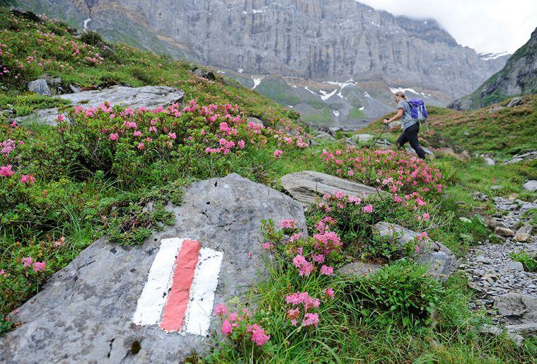 10. Etappe_glarner_wanderwege_ALPIN_Alpenrosen_mit_Roetidolomit_Fridolinshuette_MAY3630_KLEIN.jpg