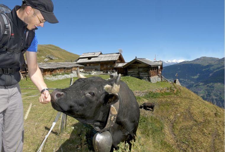 Rencontrez les vaches de la race d'Hérens - @Francois perraudin.jpg