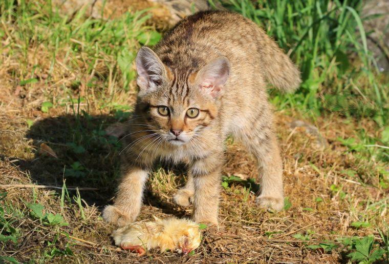 Wildkatzenjunges_2018_Studer Michel 015 (002).JPG