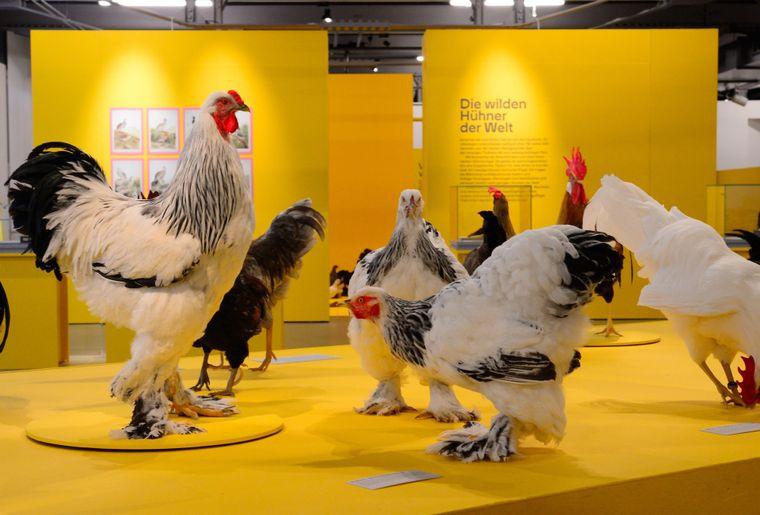 Ausstellung Hühner 2 c Museum zu Allerheiligen Schaffhausen.jpg