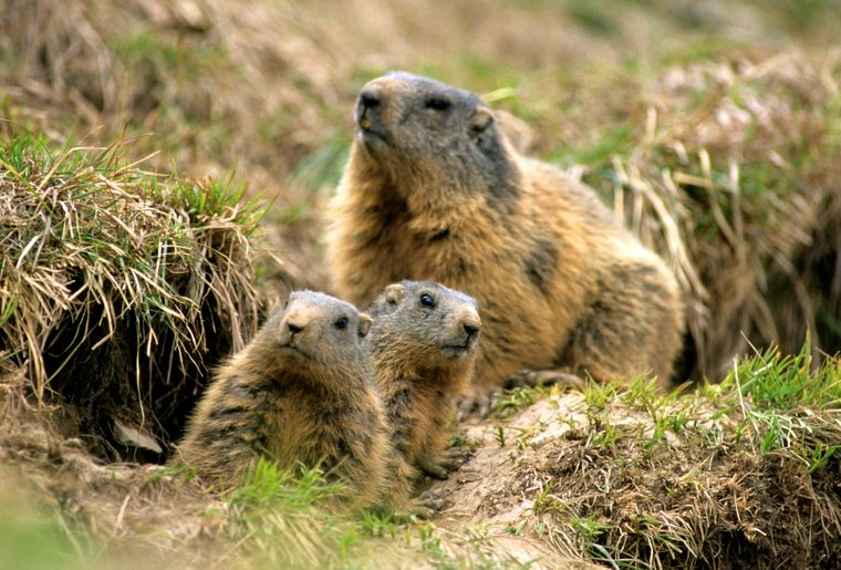 Marmots_1.jpg