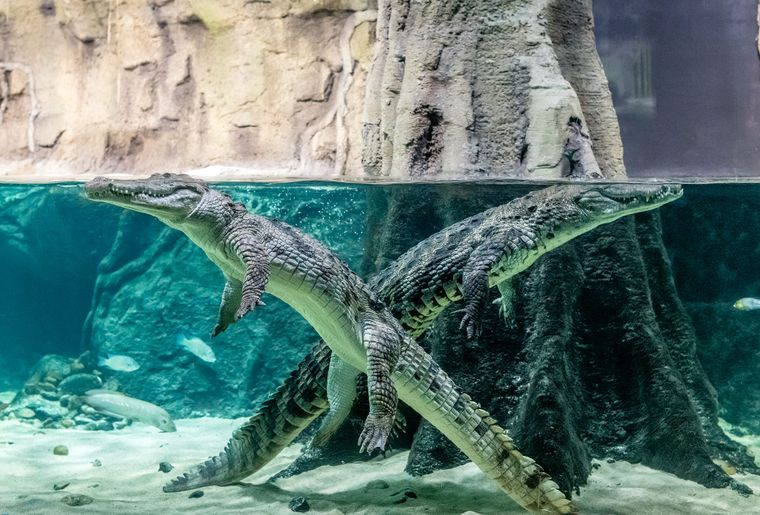 Aquatis-Aquarium-Vivarium-crocodile-du-desert-©nuno-acacio-RVB.jpg