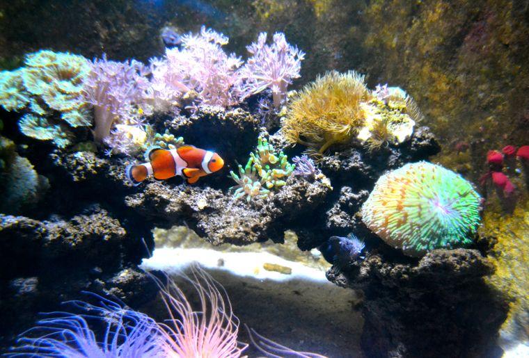 Clownfisch im Riff.JPG