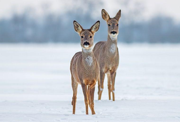 Kambly Wildtiere im Winter 896x515px-1603975274-896x515.jpg