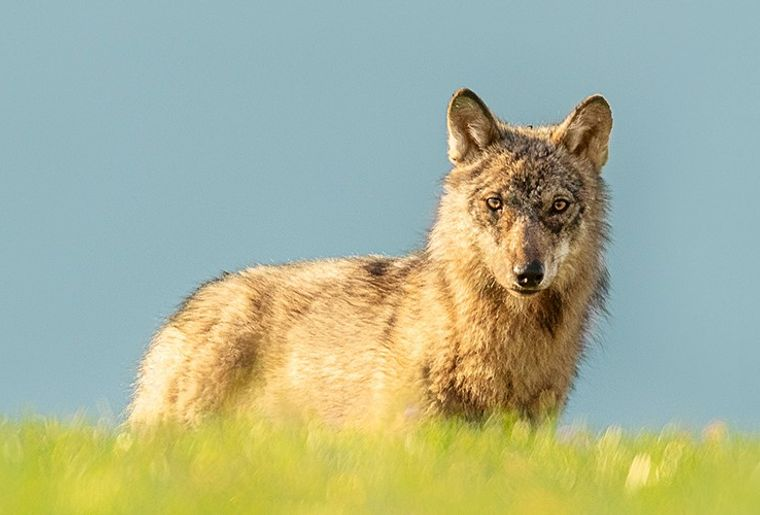 Wolf_Gurt.jpg
